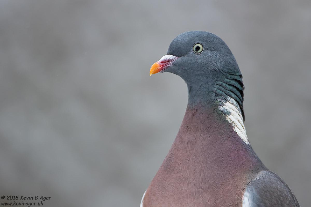 Wood Pigeon, Columba palumbus Canon EOS 7D Mark II f/5.6 1/1600sec ISO-800 700mm